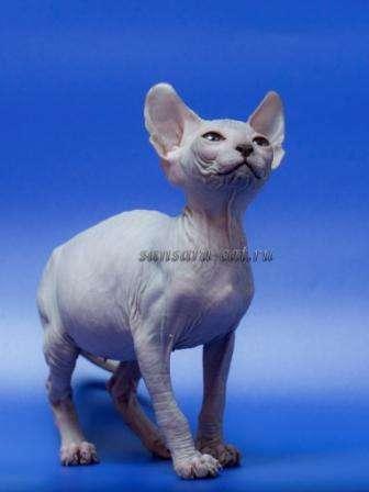 котята породы сибирские фото