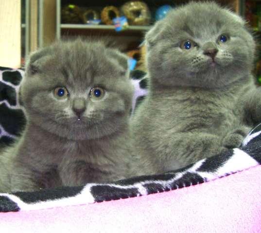 шотландские вислоухие серые котята фото цена #12