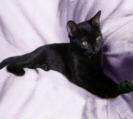 Купить кошек и котят из питомника и частные объявления о ...