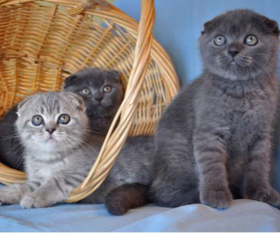 шотландские вислоухие серые котята фото цена #8
