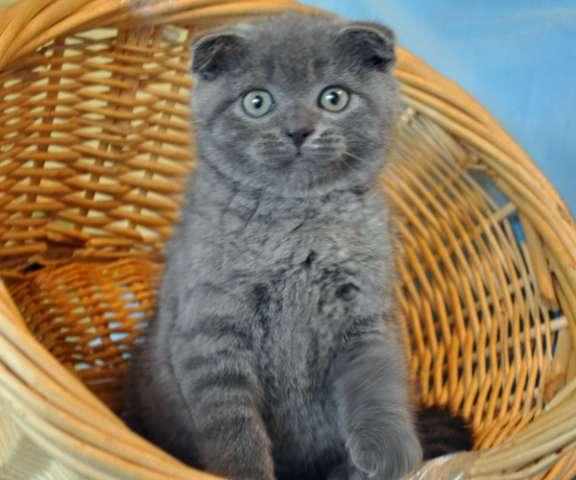 шотландские вислоухие серые котята фото цена #15