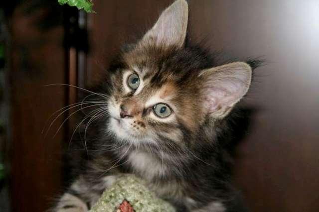 продажа котят объявления с фото